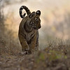 Backlit tiger cub