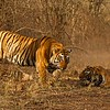 Two tigers - a male and a female - after a fight in Ranthambhore national park