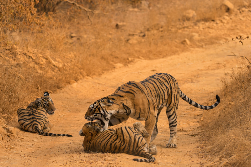 Tigress scolding her cubs in a forest