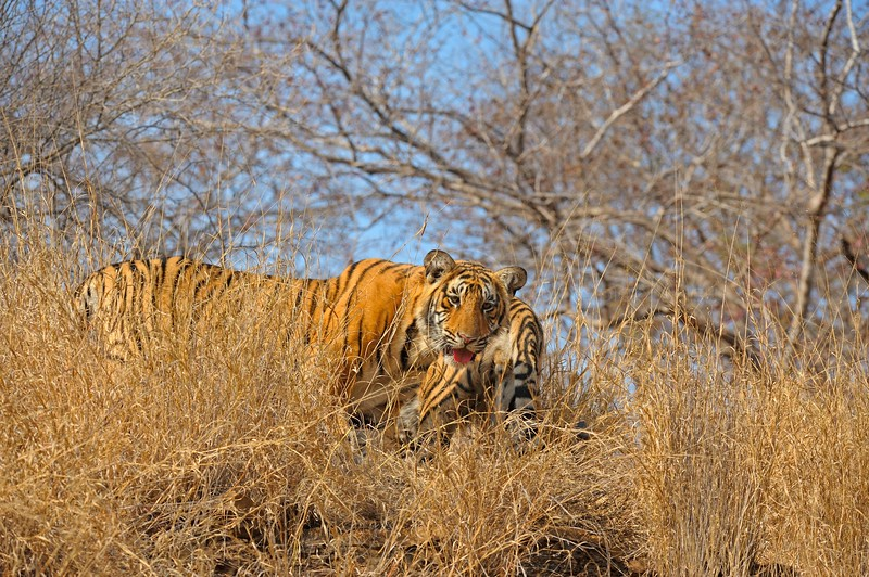 Two young tiger cubs in Ranthambore national park