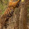 Bengal tiger standing on rear legs and stretching up to scratch a tree trunk, a way of marking territory, in Ranthambhore national park, India