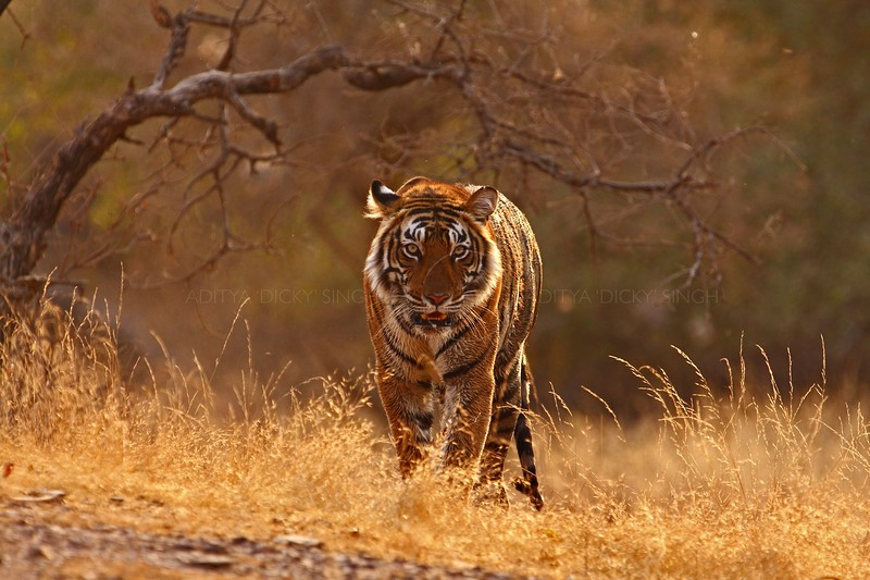 Tiger aggressively walking head on towards the camera in golden light