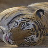 Head shot of a Tiger lying  on a forest track in Ranthambore tiger reserve