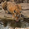 Tiger drinking from a waterhole