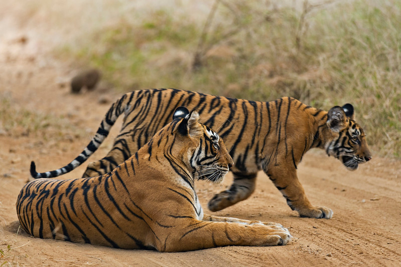 Tiger mother and cub on a forest path