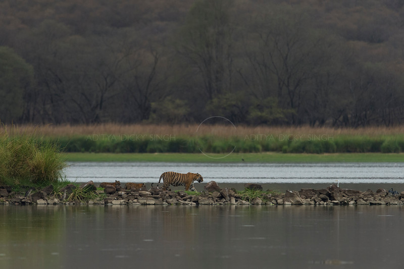 Tiger and cubs walking across a land bridge on a lake in Ranthambhore