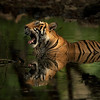 Wild tiger sitting in a waterhole in the forests of Ranthambhore national park, India