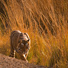 Wild tiger in forest habitat of Ranthambhore national park