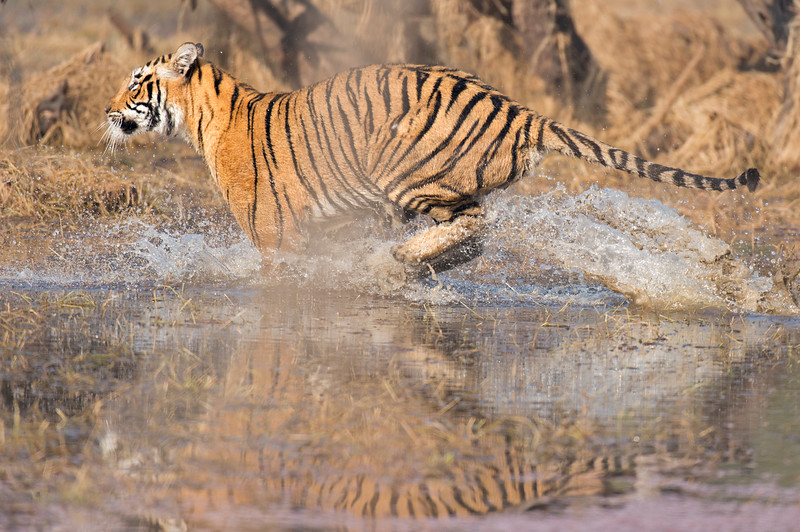 Tiger charging in water