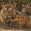 Tigress and two cubs
