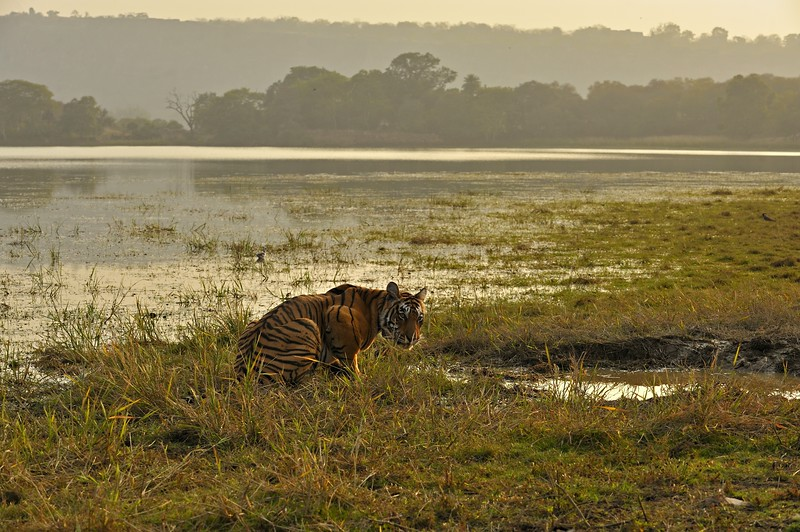 Tiger drinking from a lake in Ranthambhore national park at sunset