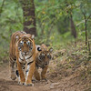 Tiger mother and cub on walking a forest path