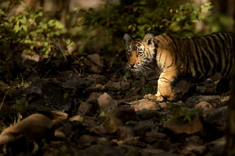 Tiger cubs in Ranthambhore