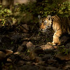 Tiger cubs in Ranthambhore