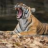 Wild tigress resting at the edge of a waterhole in Ranthambhore