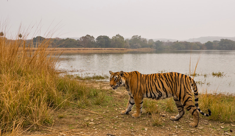 Tiger scape from Ranthambhore