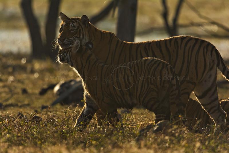 Backlit tigress and cub