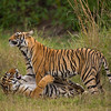 Playful wild tigers