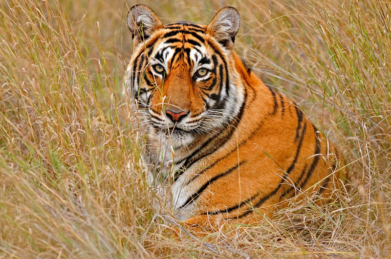 Tiger in the dry grasses of Ranthambore tiger reserve