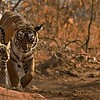 Wild tigress with three young cubs in Ranthambore national park