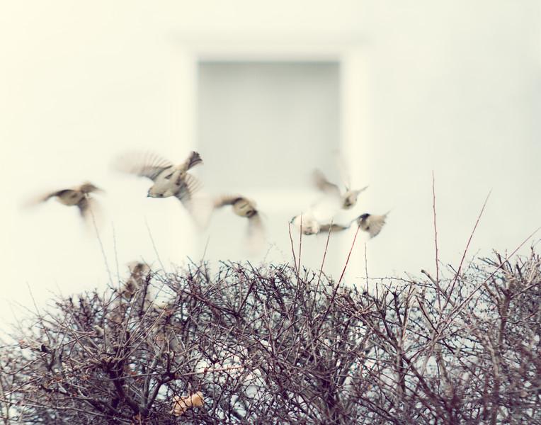 English Sparrow 11x14