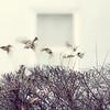 Englsih Sparrow 4x5