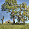 Barn and Oak Trees