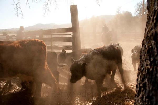 Calf Herding
