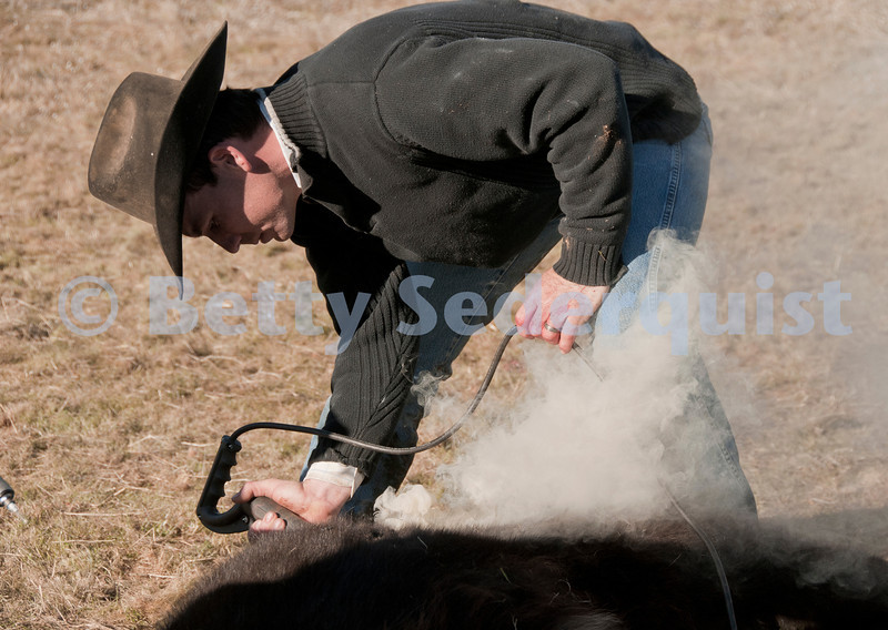 A Cowboy Brands a Calf