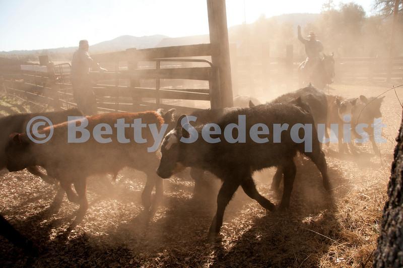 Herding Calves