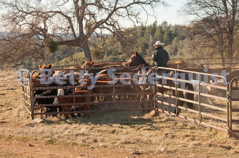 A Cowboy Herds Calves