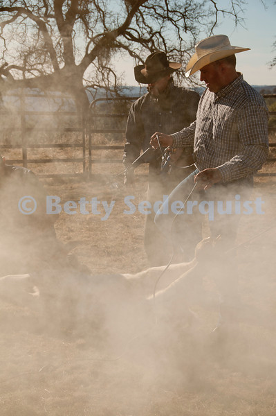 Roping a Calf in Preparation for Branding