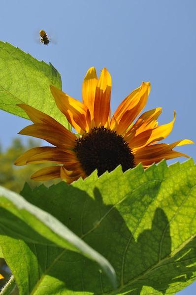 I love my sunflowers.