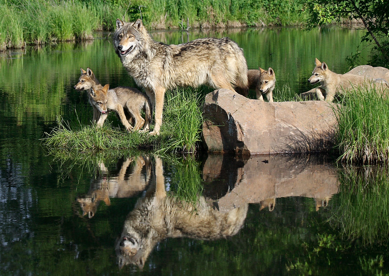 lone; wolf; pups; water; reflection; minnesota; wildlife; connection
