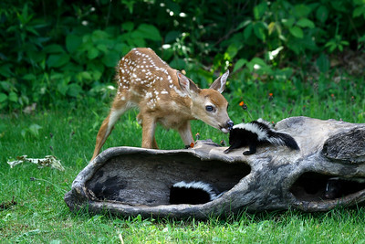 Fawn with baby skunk; Northern Minnesota