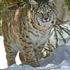 Bobcat(Lynx-rufus)-26