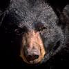 BlackBear-04