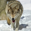 GrayWolf(Canis-lupus)-15