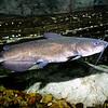 ChannelCatfish-005