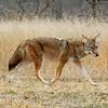 Coyote-208-02