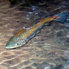 BrownTrout-005