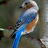 EasternBluebird-004