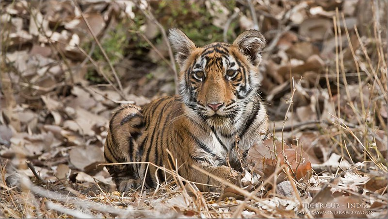 Please help save nature.<br /> <br /> Tiger cub - India<br /> India<br /> <br /> ray@raymondbarlow.com<br /> Nikon D810 ,Nikkor 200-400mm f/4G ED-IF AF-S VR<br /> 1/400s f/7.1 at 350.0mm iso800