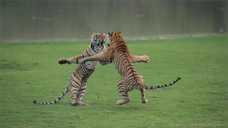 "Tiger Sisters in a Fight<br /> Raymond's India Photo Tours<br /> <br /> ray@raymondbarlow.com<br />  <a href=""http://www.raymondbarlow.com"">http://www.raymondbarlow.com</a><br /> Nikon D800 ,Nikkor 200-400mm f/4G ED-IF AF-S VR<br /> 1/2500s f/4.0 at 300.0mm iso5000"