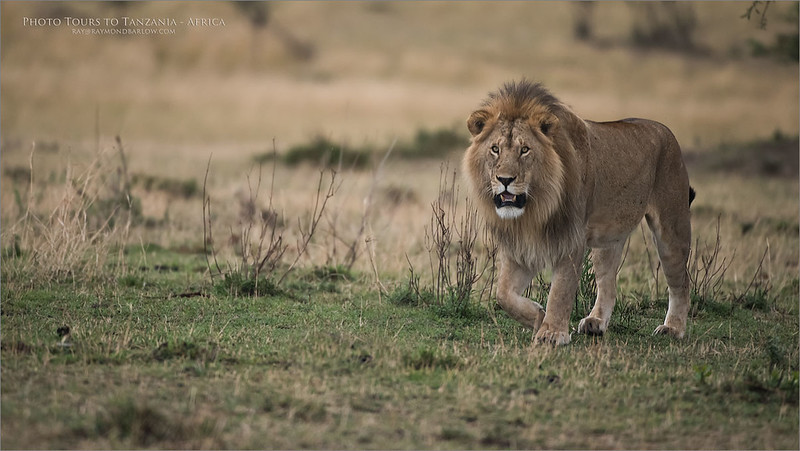 Male Lion Hunting in Tanzania<br /> Raymond Barlow Photo Tours to Tanzania Wildlife and Nature<br /> <br /> ray@raymondbarlow.com<br /> Nikon D810 ,Nikkor 200-400mm f/4G ED-IF AF-S VR<br /> 1/1000s f/4.0 at 400.0mm iso2000