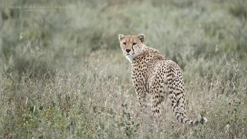Love Africa!<br /> <br /> A cheetah on the lookout for prey and enemies!<br /> <br /> this beautiful healthy Cheetah and its partner were sitting in the tall grass, lounging when they popped up for a look.  Sweet light, and just the right amount of depth of field to cover the animal in sharp focus made this one a favourite.  <br /> <br /> Such an incredibly superb cat!  What a trip!<br /> <br /> Cheetah on Guard - Tanzania<br /> Raymond Barlow Photo Tours to Tanzania Wildlife and Nature<br /> <br /> ray@raymondbarlow.com<br /> Nikon D850 ,Nikkor 200-400mm f/4G ED-IF AF-S VR<br /> 1/800s f/4.0 at 400.0mm iso500