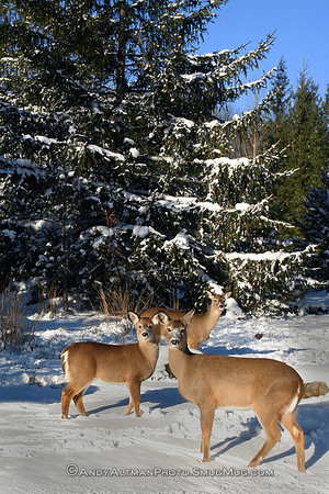 Deer Grazing in Snow
