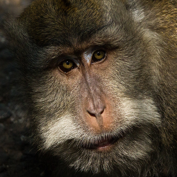 Alpha Male Macaque