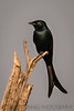Black Drongo, India