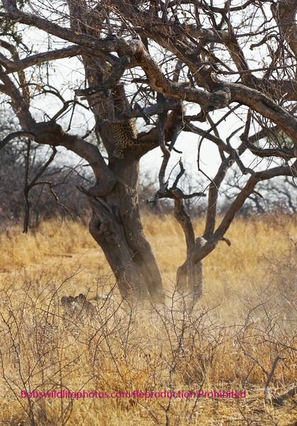 Leopard in second tree